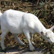 白山羊羔羊哺乳后期该如何饲养管理图片