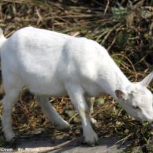供应白山羊的初配年龄是多大,导致配种失败的原因有哪些,白山羊羔羊价格