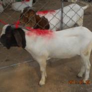 山东济宁最正规的波尔山羊养殖繁育图片