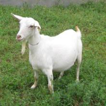 供应哪里有卖宜昌白山羊的,白山羊羔羊多少钱一只