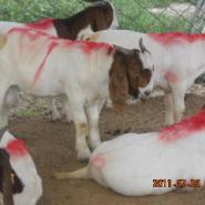 养羊网-小尾寒羊价格波尔山羊图片