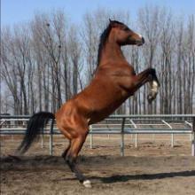 供应一匹蒙古马多少钱,伊犁马与蒙古马哪个好训性情温顺图片