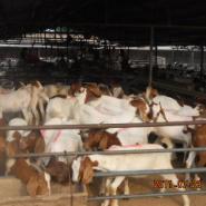 怎样提高山羊的繁殖率图片