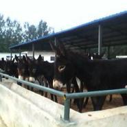 肉驴驴苗价格种驴价格图片
