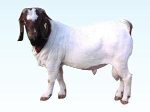 波尔山羊母羊的饲养管理图片