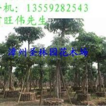 供应福建华棕树