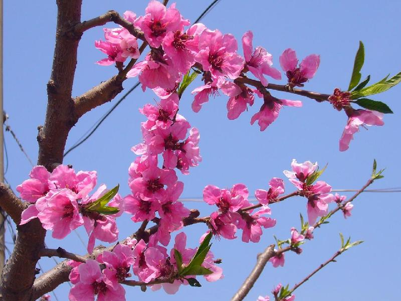 桃树 桃树供应商 供应山桃树多少钱一棵 桃