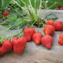 供应河南草莓苗
