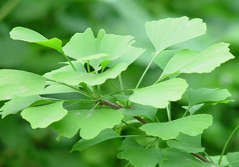 关于银杏树的资料介绍