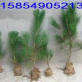 供应低价处理油松苗油松小苗油松苗木