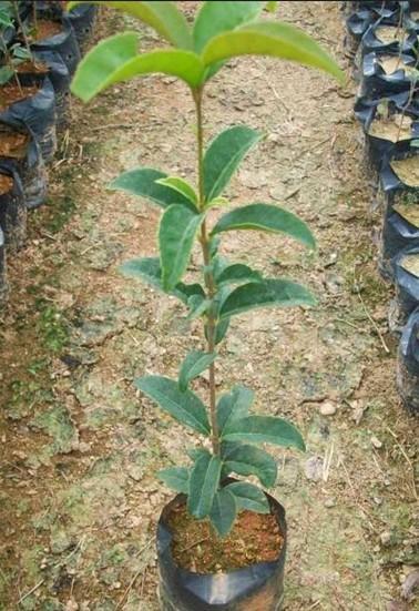 广州市龙洞绿化树苗基地生产供应丹桂树苗丹桂