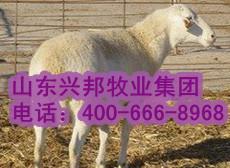 大兴安岭活羊价格大兴安岭肉羊价格大兴安岭肉食羊行情