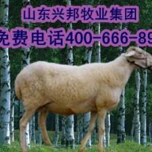 【内蒙古最新包头小尾寒羊价格;最新包头纯种小尾寒羊行情】最新内蒙批发