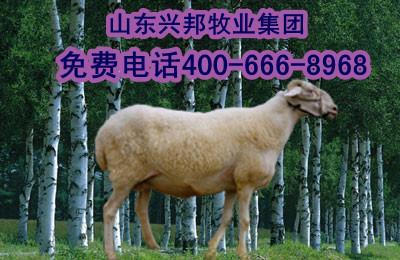 兴安盟绵羊价格;兴安盟绵羊行情
