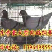山东肉鸽价格山东养鸽子的厂子在哪图片