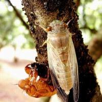 供应金蝉金蝉卵枝知了猴 图片|效果图