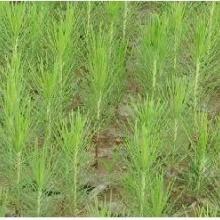 供应湿地松树苗批发