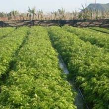 供应黄花梨树苗种植
