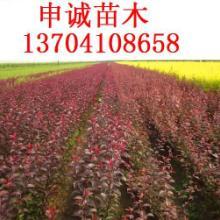 供应2011年红叶李小苗图片