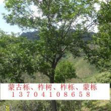 供应丛生蒙古栎|蒙古栎图片|蒙古栎丛生蒙古栎蒙古栎图片蒙古栎批发