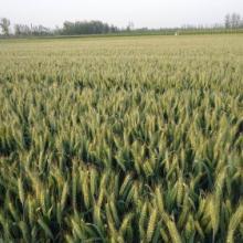 超级小麦-航麦247