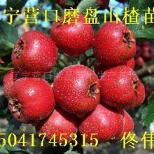 供应磨盘山楂树苗-批发价格出售-小伟苗木-个体经营。辽宁果树苗木