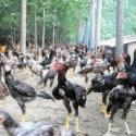 鲁西斗鸡养殖价格图片