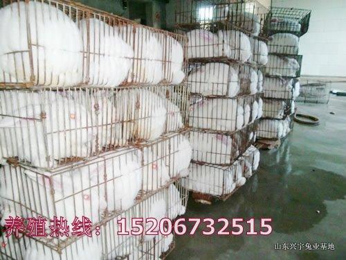 供应2011年獭兔现在价格行情2012年獭兔价格的走势獭兔养殖前