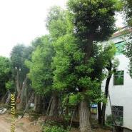 藤本植物最大批发商图片
