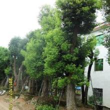 供应藤本植物最大批发商 藤本植物种植基地 藤本植物最新报价批发