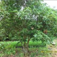 荔枝树图片