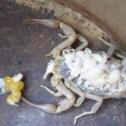 山东蝎子蝎子喜安静清洁的生活习性图片