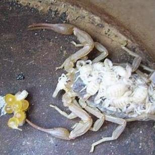 人工养殖蝎子前必须要了解些什么图片