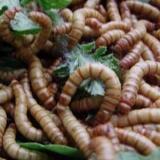 供应邯郸蝎子黄粉虫的养殖温度