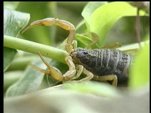 供应山东蝎子蝎子的交配方式