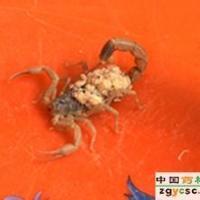 供应邯郸蝎子拖尾病的病症和防治