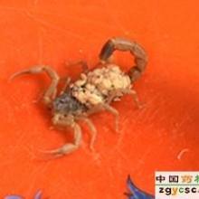 供应邯郸蝎子蝎子的营养美味