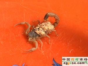 供应山东蝎子蝎子的呼吸系统的构造