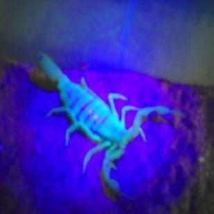 山东蝎子养殖科学养殖科学管理图片