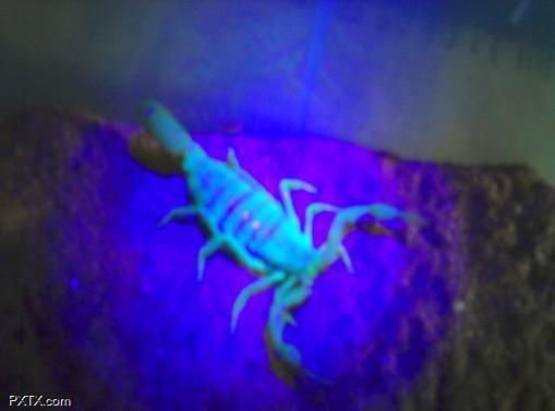 供应山东蝎子蝎子呼吸系统的内部结构