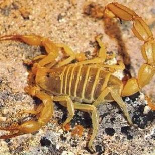 邯郸蝎子养殖国家扶持项目效益可观图片
