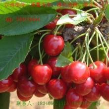 供应安果梨苗刺槐树枣树杏树苹果苗樱桃