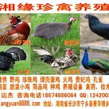 湖南农村创业适合做什么,搞特种珍禽养殖野鸡