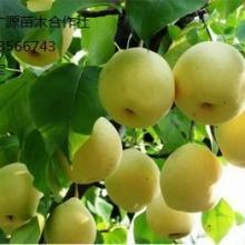 供应梨树苗出售优质嫁接梨树苗大量供应批发
