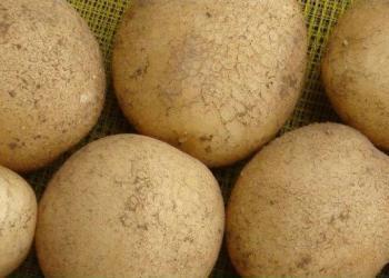 供应脱毒土豆种子马铃薯种子价格土豆种子预定图片大全图片