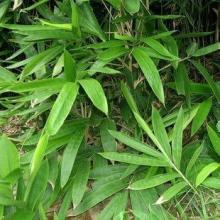 阔叶箬竹出售竹子观赏竹类阔叶箬竹