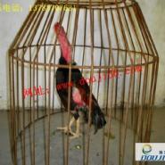 越南斗鸡比赛视频越南纯种斗鸡比赛图片