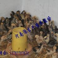 斗鸡苗销售纯种泰国斗鸡苗出售图片