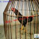 缅甸斗鸡比赛缅甸斗鸡打斗视频图片