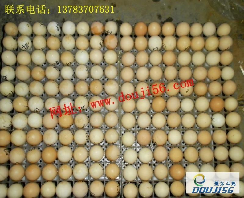 供应母鸡中原纯种越南母鸡斗鸡苗斗鸡蛋小帅摔跤训练图片